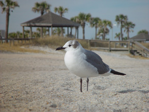 a seagull on the beach at Amelia Island, FL